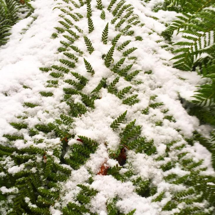 snow fern.jpg